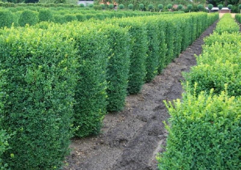 Buchsbaum quadratisch - Buxus Sempervirens var. arborescens - Säule H: 80-90 cm