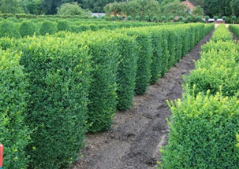 Buchsbaum quadratisch - Buxus Sempervirens var. arborescens - Säule H: 120-130 cm