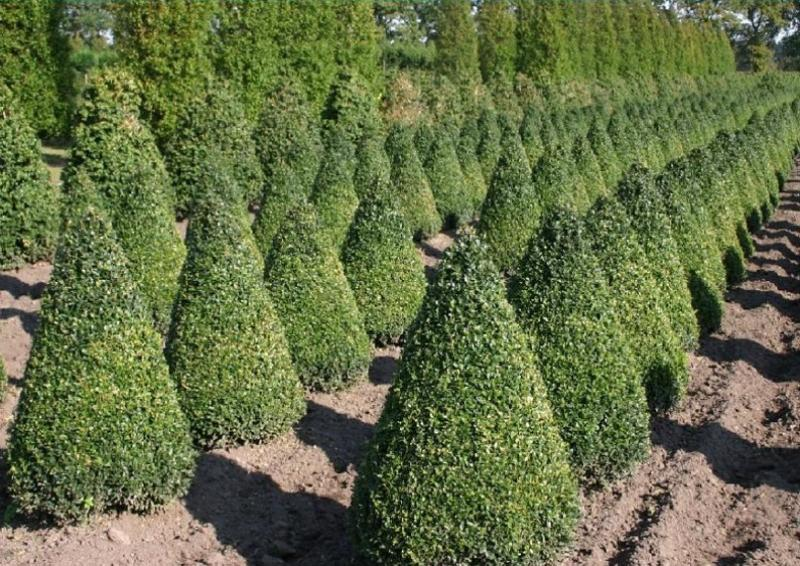 Buchsbaum - Buxus Sempervirens var. arborescens - Kegel H: 120-130 cm