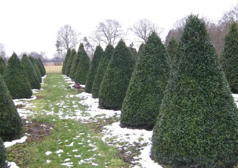 Buchsbaum - Buxus Sempervirens var. arborescens - Kegel H: 140-150 cm