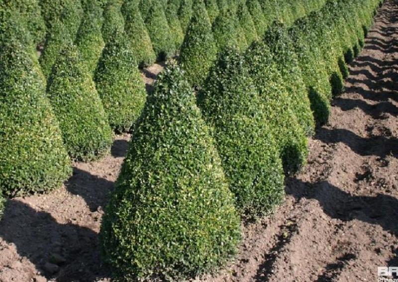 Buchsbaum - Buxus Sempervirens var. arborescens - Kegel H:: 80-90 cm