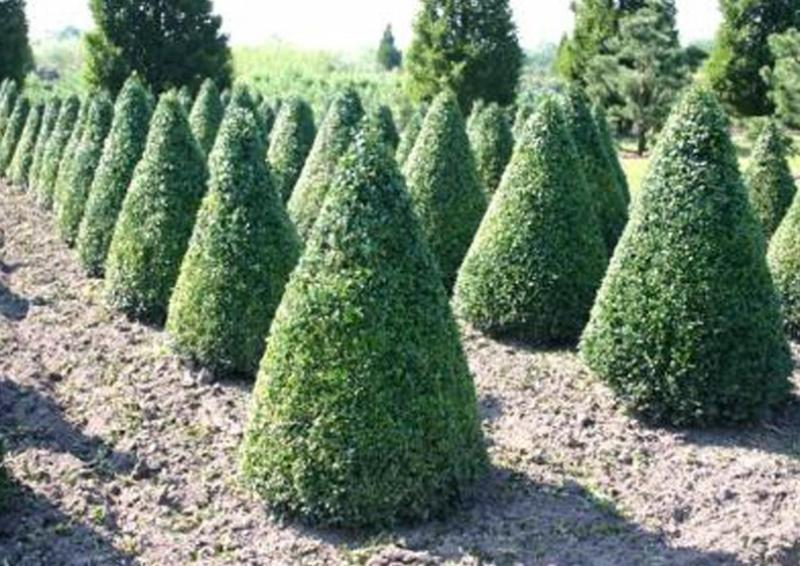 buchsbaum buxus sempervirens var arborescens kegel h 80 90 cm. Black Bedroom Furniture Sets. Home Design Ideas