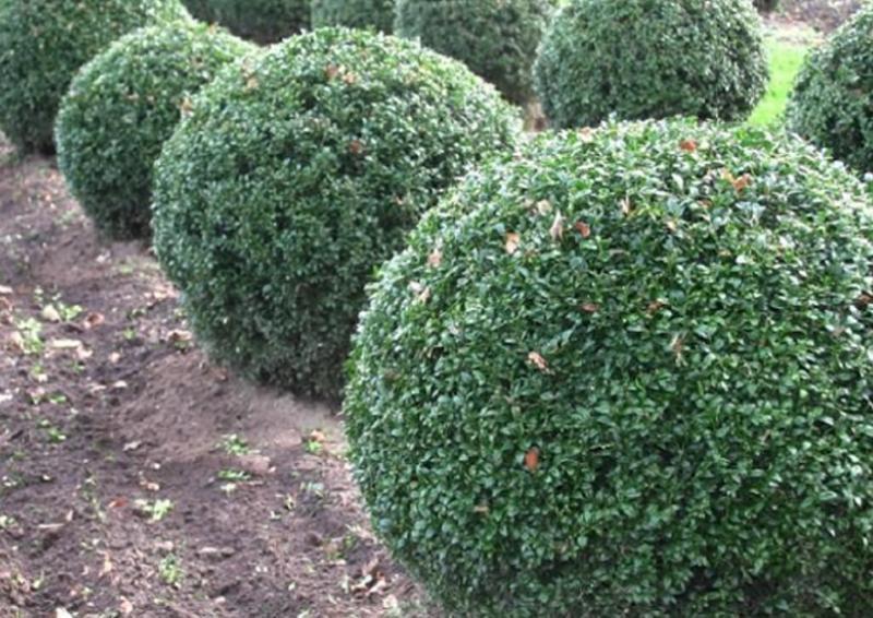 buchsbaum buxus sempervirens var arborescens kugel b 60 70 cm. Black Bedroom Furniture Sets. Home Design Ideas