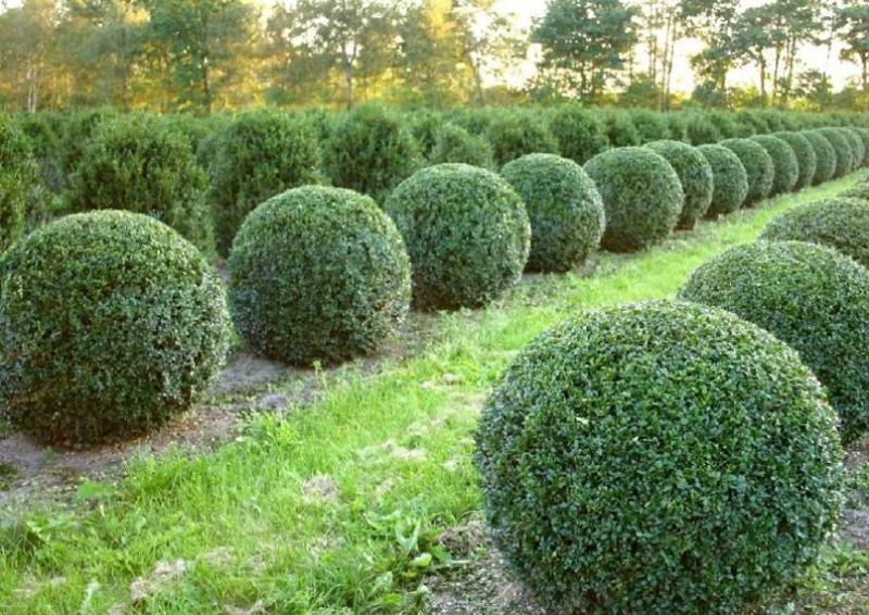 buchsbaum buxus sempervirens var arborescens kugel b. Black Bedroom Furniture Sets. Home Design Ideas