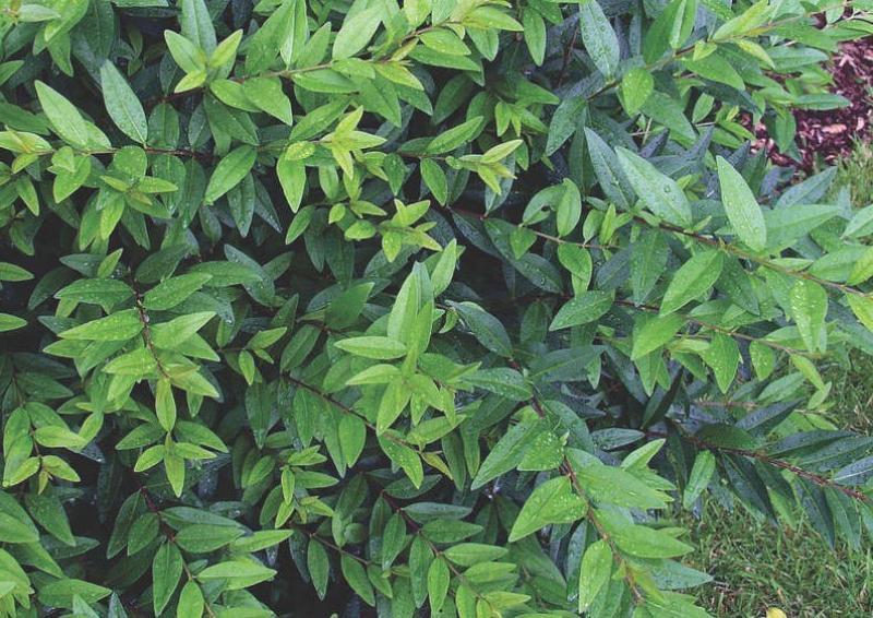 Liguster - Ligustrum Vulgare Atrovirens - Kugel B: 100-110 cm