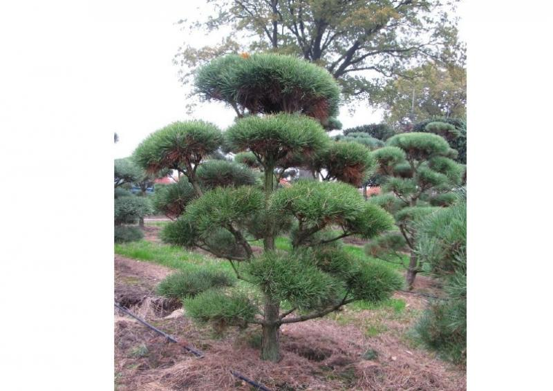 Strauch-Waldkiefer - Pinus Sylvestris - Gartenbonsai B: 125-150 cm - H: 150-175