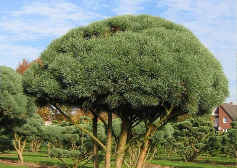 Strauch-Waldkiefer - Pinus Sylvestris Watereri - Schirmform B: 100-125 cm - H: 100-125