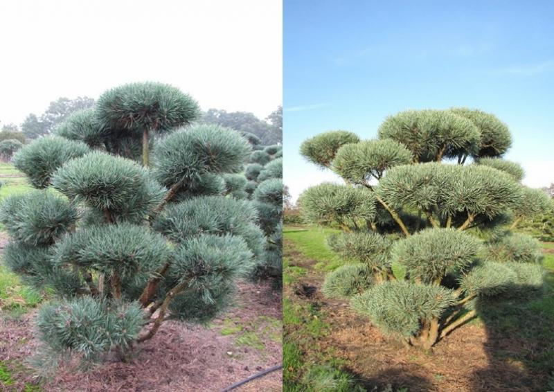 Strauch-Waldkiefer - Pinus Sylvestris Watereri - Bonsaiform B: 150-200 cm - H: 150-175