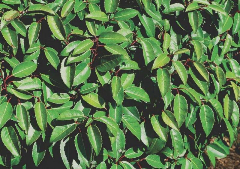 Portugiesischer Kirschlorbeer kirschlorbeer prunus lusitanica angustifolia kugel b 70 80 cm