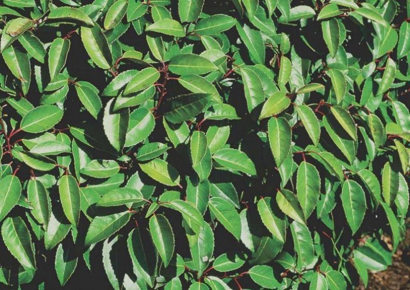 Portugiesischer Kirschlorbeer - Prunus Lusitanica Angustifolia - Kugel B: 80-90 cm