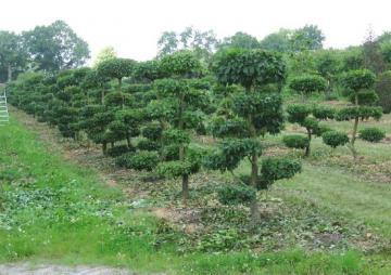 Hainbuche - Carpinus Betulus- Gartenbonsai B: 125-150 cm - H: 175-200
