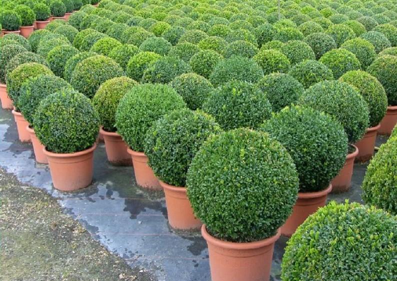 Buchsbaum buxus sempervirens var arborescens im for Buchsbaume pflanzen