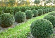 Buchsbaum - Buxus Sempervirens var. arborescens - Kugel B: 80-90 cm